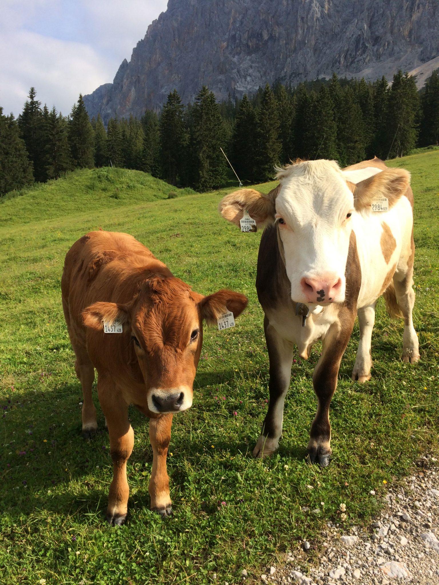 Auf dem Weg zu den Plattspitzen in der Tiroler Zugspitzarena begrüßt uns das neugierige Jungvieh | Climbers Paradise